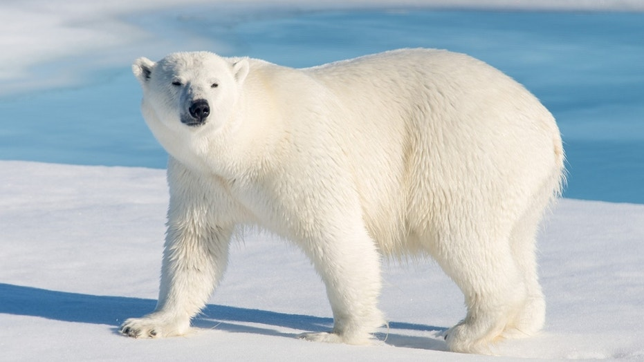 A polar bear was killed after attacking a polar bear guard who was leading tourists off a cruise ship on the Svalbard archipelago archipelago between mainland Norway and the North Pole on Saturday.