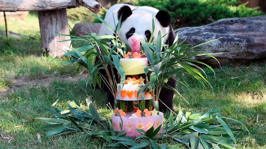 France's first baby panda Yuan Meng celebrates his first birthday with a birthday cake composed of bamboo, honey, apples, oranges, strawberries and lemons, at the ZooParc de Beauval in Beauval, central France on Saturday.