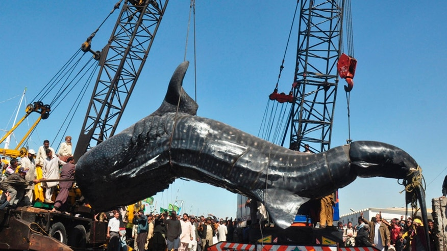 Staff of Karachi fisheries lift a carcass of  whale shark in Karachi, Pakistan on Tuesday, Feb 7, 2012. The 40-feet whale was found dead near Karachi in the Arabian Sea. (AP Photo)