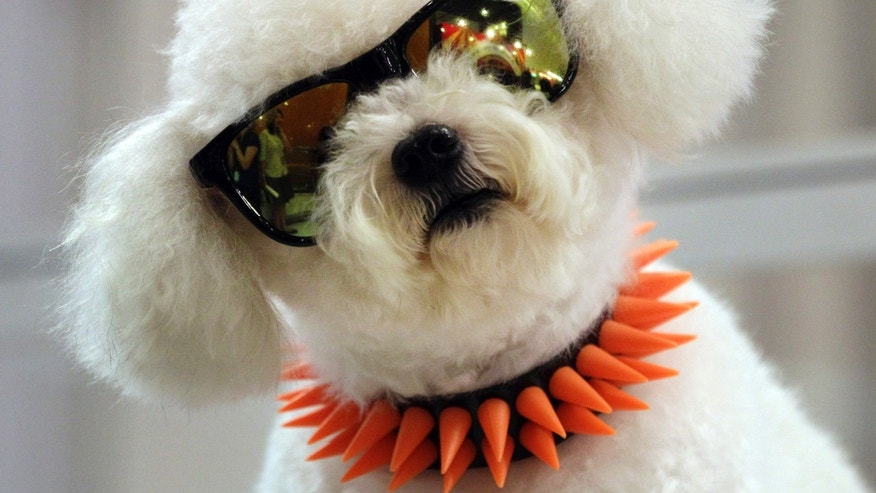 White, a 3-year-old poodle, looks at visitors touring a pet fair in Bangkok on Thursday, May 17, 2012.  (AP Photo/Sakchai Lalit)