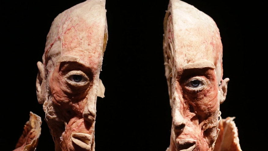"An anatomical specimen is displayed at the 'Body Worlds' exhibition in Milan, Italy, Wednesday, Oct. 3, 2012. Creator of the exhibition, German Professor Gunther von Hagens, uses a preservation technique called ""plastination"" on real human bodies with the intention to teach people about the human body, to achieve better health awareness. The traveling exhibition will remain in Milan from Oct. 3 until Feb. 17, 2013. (AP Photo/Luca Bruno)"