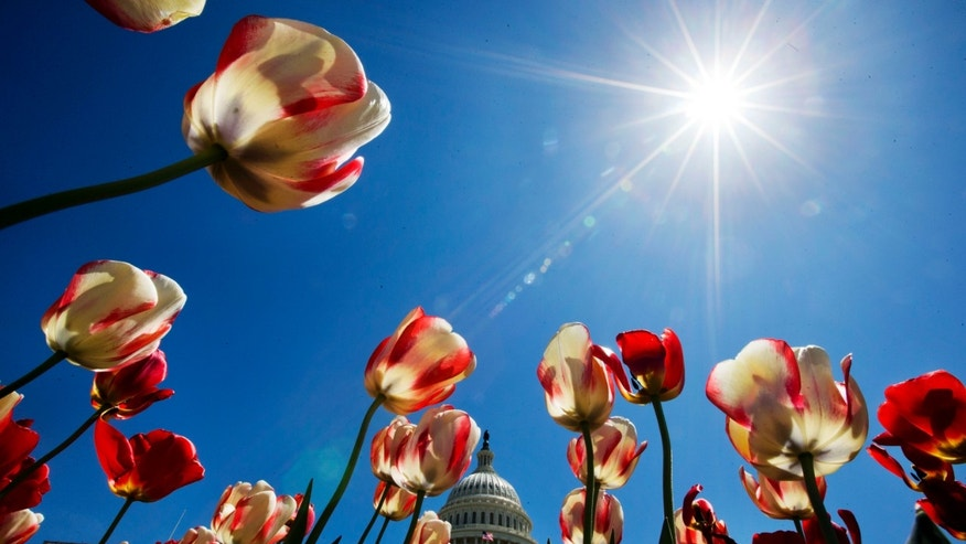 Tulips, already beginning to peak, frame the U.S. Capitol in Washington, Sunday April 27, 2014. (AP Photo/Jacquelyn Martin)