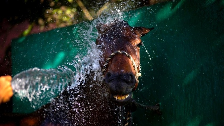 In this Feb. 4, 2015 photo, a worker sprays a horse with water after a training session at the state-run Azucarero horse ranch in Artemisa, Cuba. By importing colts and fillies from the Netherlands, Cuban trainers are creating prized competitors capable of fetching buyers at private auctions, with much of the proceeds going back to the government-led equine enterprise. (AP Photo/Ramon Espinosa)