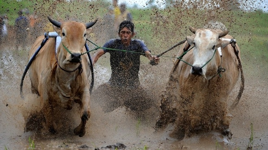 PADANG, INDONESIA - MAY 23:  A jockey spurs the cows during Pacu Jawi on May 23, 2015 in Padang, Indonesia. Pacu Jawi (traditional cow racing) is held annually in muddy rice fields to celebrate the end of the harvest season by the Minangkabau people. Jockeys grab the tails of the bulls and skate across the mud barefoot balancing on a wooden plank to show the strength of their bulls who are later auctioned to buyers.  (Photo by Robertus Pudyanto/Getty Images)