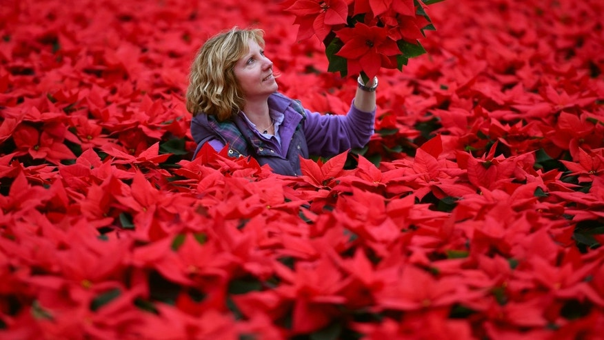 LOANHEAD, SCOTLAND - NOVEMBER 23:  Carolyn Spray holds one of her many Poinsettia plants ready to be dispatched for the Christmas season at the Pentland Plants garden centre on November 23,2015 in Loanhead, Scotland. The garden center grows around 100,000 poinsettias, a traditional Christmas house plant.   The Midlothian business supplies a host of garden centres and supermarkets across Scotland and the north of England in time for Christmas.  (Photo by Jeff J Mitchell/Getty Images)