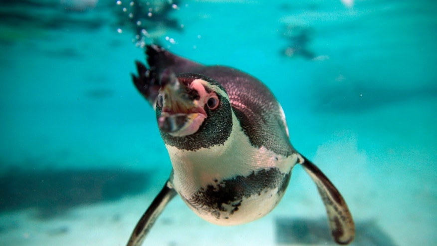 Humboldt Penguins swim in their pool during the annual stocktake press preview at London Zoo in Regents Park in London Monday, Jan. 4, 2016. A requirement of ZSL London Zoo's license, the annual audit takes keepers a week to complete and all of the information is shared with zoos around the world via the International Species Information System, where it's used to manage the worldwide breeding programs for endangered animals. (AP Photo/Alastair Grant)