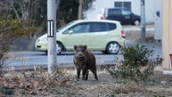 A wild boar is seen at a residential area in an evacuation zone near Tokyo Electric Power Co's (TEPCO) tsunami-crippled Fukushima Daiichi nuclear power plant in Namie town, Fukushima prefecture, Japan, March 1, 2017. Picture taken March 1, 2017.   REUTERS/Toru Hanai - RTS121Z8