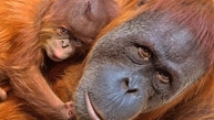 A baby orangutan relaxes near its mother Padana at the zoo in Leipzig, Germany, Tuesday, Aug. 15, 2017. The baby orangutan, whose gender is not yet known, was born on Aug. 5, 2017. (AP Photo/Jens Meyer)