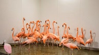 Flamingos take refuge in a shelter ahead of the downfall of Hurricane Irma at the zoo in Miami, Florida, U.S. September 9, 2017.  REUTERS/Adrees Latif - RC1F5C92DD30