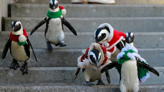 African penguins, wearing red and green holiday garments, take a walk at the Hakkeijima Sea Paradise aquarium-amusement park complex in Yokohama, southwest of Tokyo, Tuesday, Dec. 12, 2017. (AP Photo/Shizuo Kambayashi)