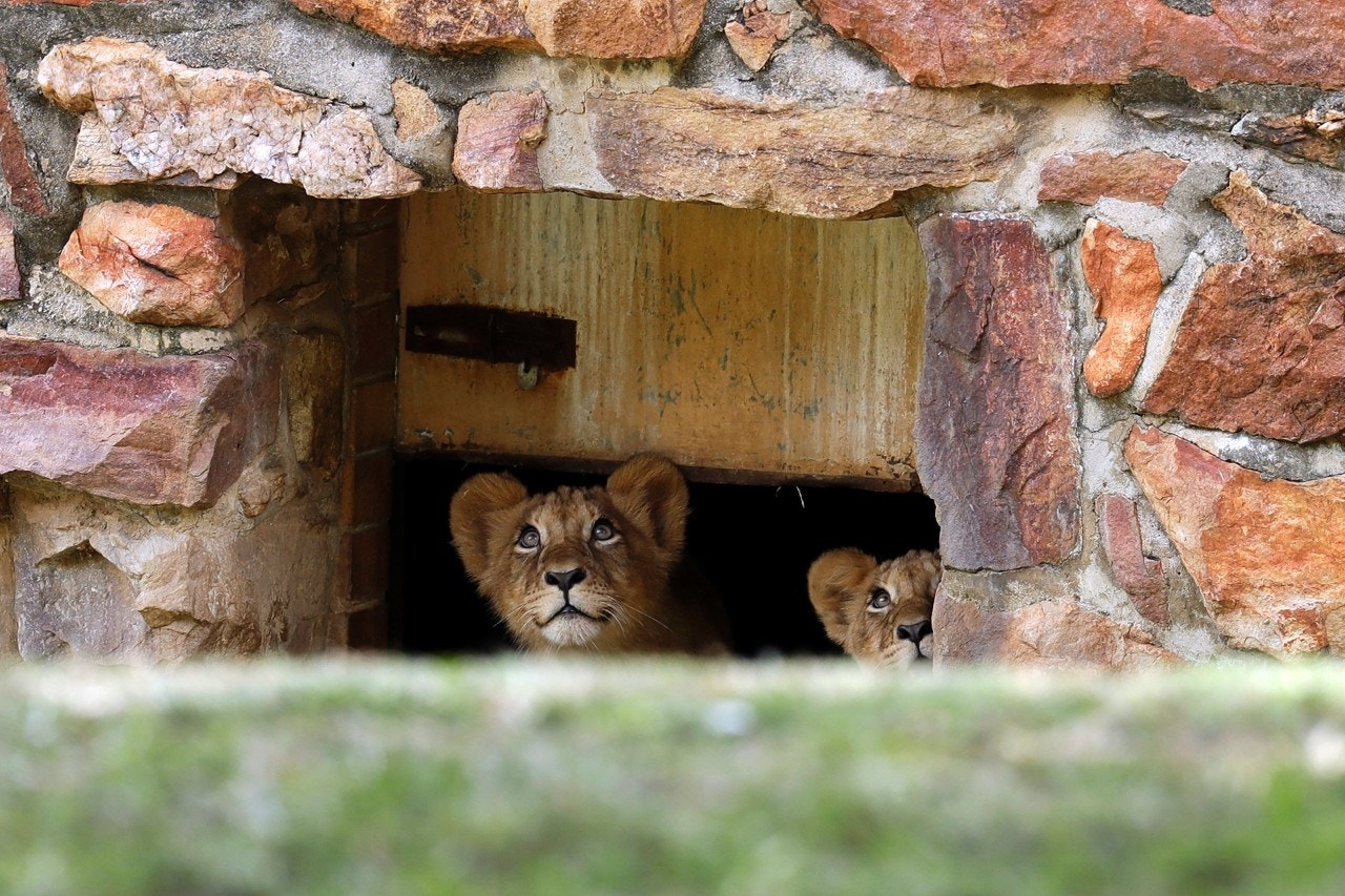 Two lion cubs look up as they are released into a large enclosure in the Johannesburg Zoo, South Africa, March 19, 2018
