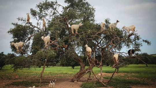 Tree-climbing goats feed on an Argania Spinosa, known as an Argan tree, in Essaouira, southwestern Morocco, Wednesday, April 4, 2018. By eating the fruit and spitting out the seeds, the goats help in the process of manufacturing Argan oil. (AP Photo/Mosa'ab Elshamy)