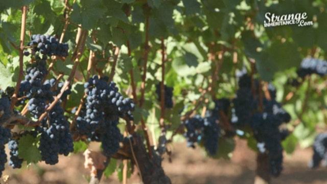 Using biodynamics in vineyards