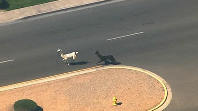 Two escaped llamas captivate social media