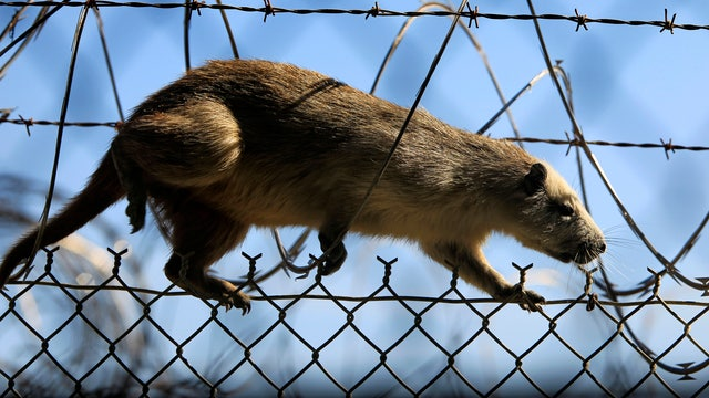 NYC rats are carrying fleas linked with Bubonic plague?