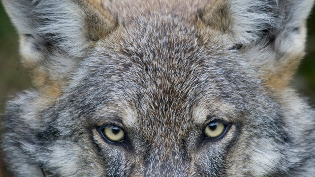 Endangered status of Gray Wolves hangs in balance in Mich.