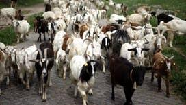Donald Trump's tax-dodging goats?