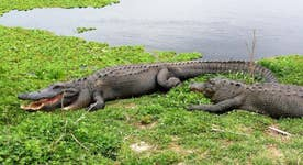 Is Disney liable for the alligator attack?
