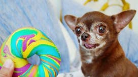 Tiny Chihuahua, huge social media following