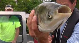 Asian carp invading Midwest rivers