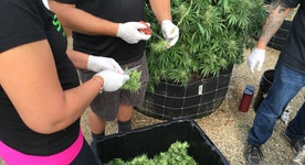 Marijuana on the ballot in five states