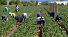 Immigration raids leading to farming labor shortage?