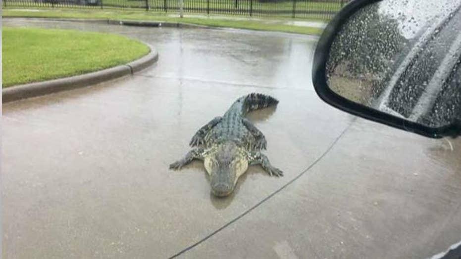 Hurricane Harvey warning: Beware of alligators