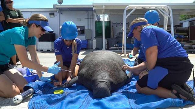 SeaWorld sheltering manatees exposed to deadly red tide