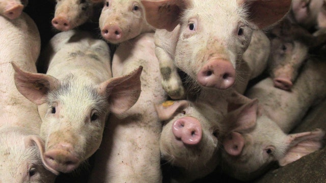 FBN's Jeff Flock on the rise in hog prices due to the Swine Flu.