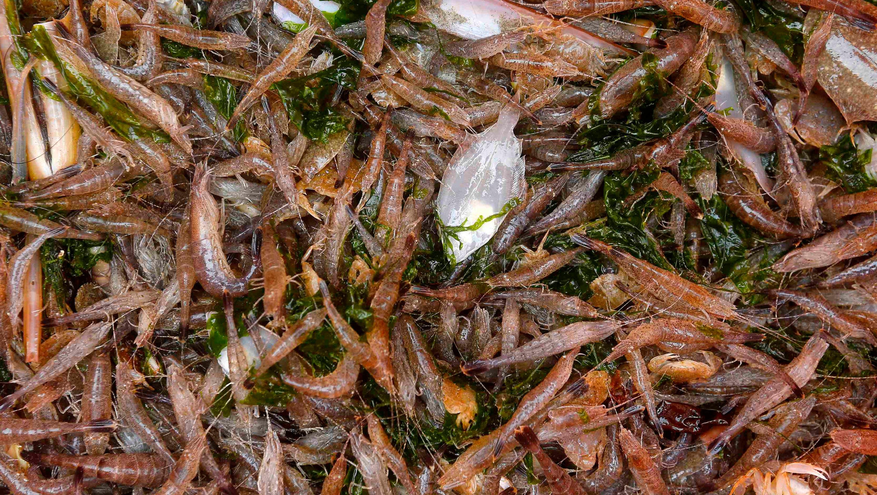 планктон для ловли толстолобика своими руками рецепт