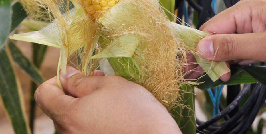 The Elburn Cooperative in Illinois is figuring out how to store what's expected to be a bumper crop of corn.