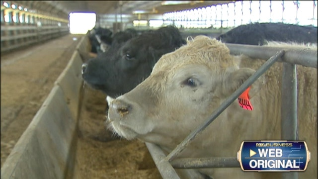 Corn and soybean prices are falling, but live cattle prices are climbing on tight supplies.