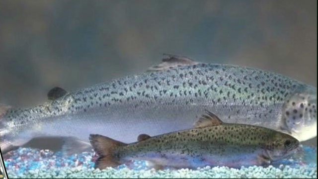 """Health of the Nation"" host Dr. Mitchell Brooks on the benefits, and concerns raised, about genetically modified fish."