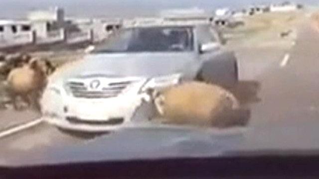Headlight head-butt: Angry ram rams passing car