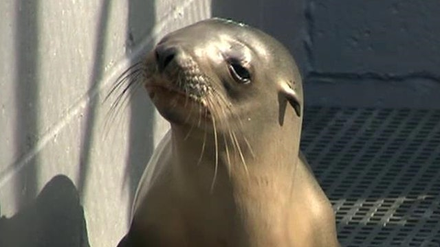 Unusual number of sea lions becoming stranded on CA beaches