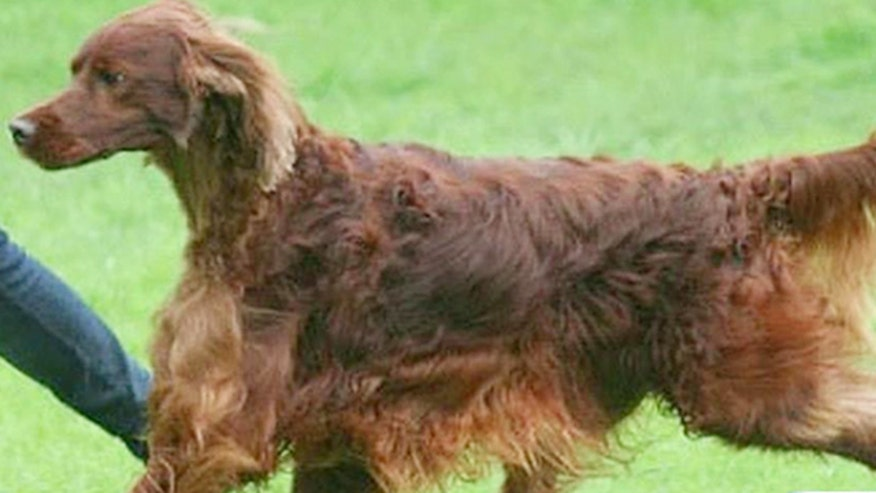 Owners refuse to believe another competitor purposely poisoned prize Irish Setter, but murder suspicions remain