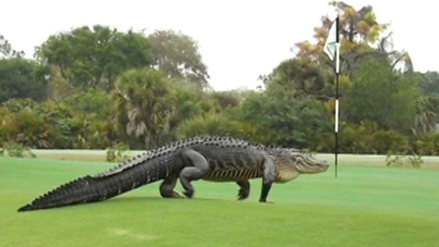 Golfer snaps photos of 13-foot alligator