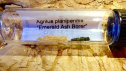 Ash trees in almost half of U.S. states and parts of Canada are under attack by a very small killer called the Emerald Ash Borer (EAB).