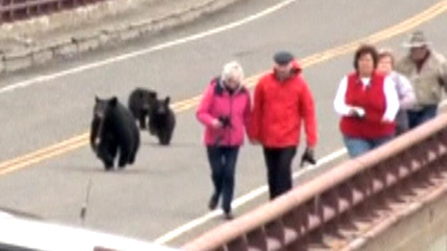 Bear family chases tourists at Yellowstone National Park