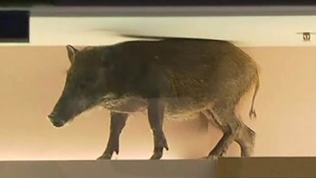 How much is that wild boar in the window?