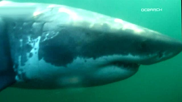 Great white shark attracts huge online following