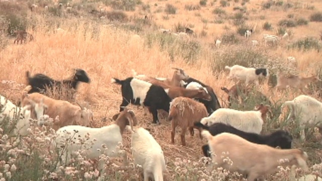 Ronald Reagan Library turns to goat power