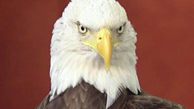 Fox Flash: Challenger the Eagle