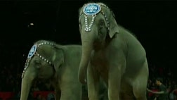Elephants are about to put on their last act as the iconic image of the Ringling Bros. Circus.