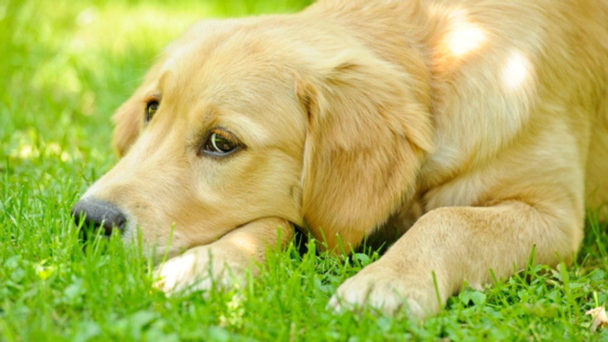 Q&A with Dr. Manny: Do dogs get spring allergies like humans? And how can I help my sweet little pup with them?
