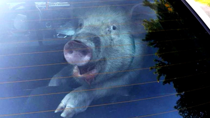 Michigan police officer throws rowdy porker into cruiser before reuniting with owner