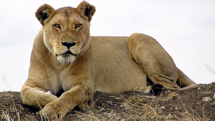 Helicopter brought in to search for lion that escaped from the Karoo National Park