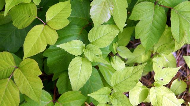 How to treat a poison ivy rash