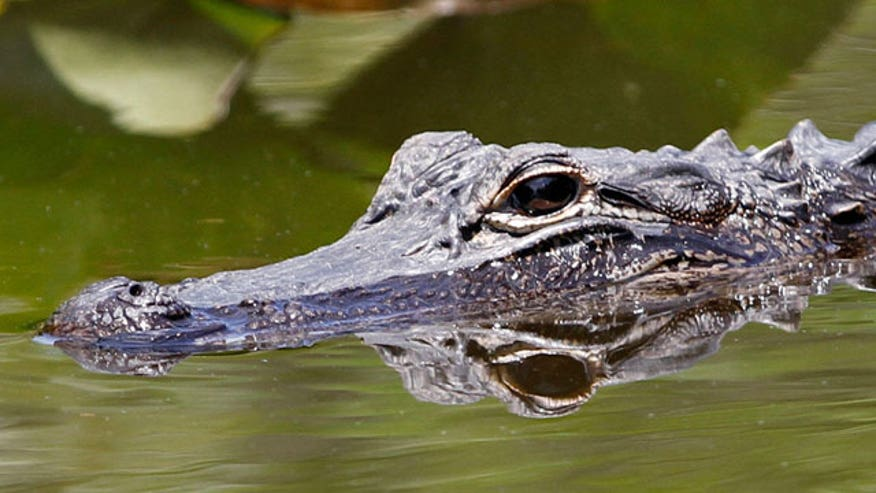 Rogue gator expected to killed by Florida officials