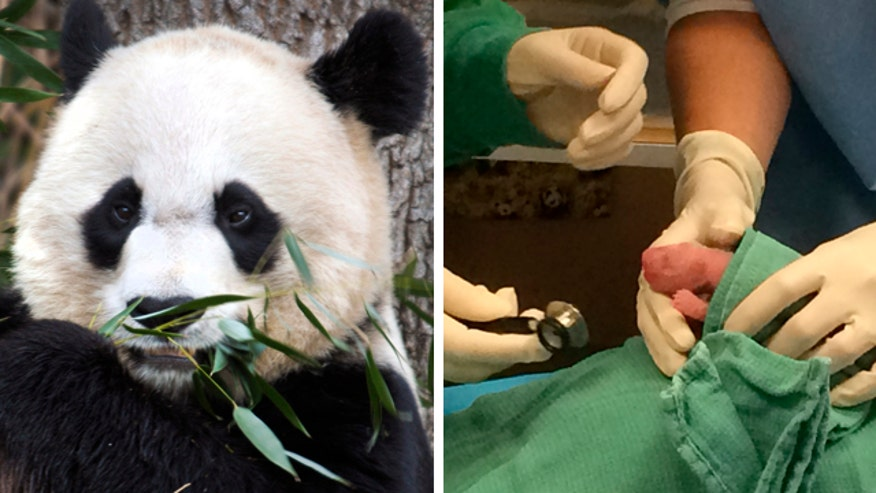 Zoo's panda gives birth to twins